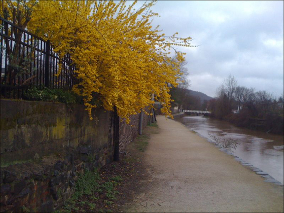 The Lambertville tow path with a nice burst of forsythia.